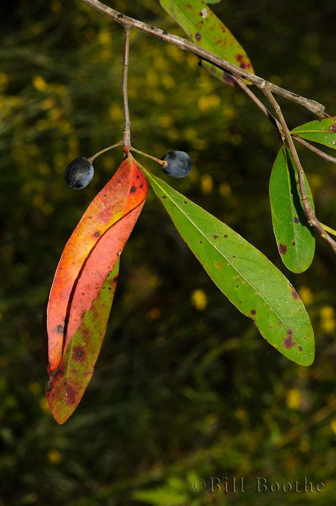 Blackgum Fruits