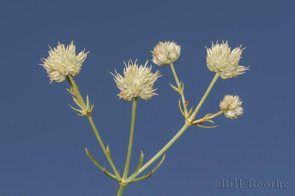 Scrub Eryngium Flowers