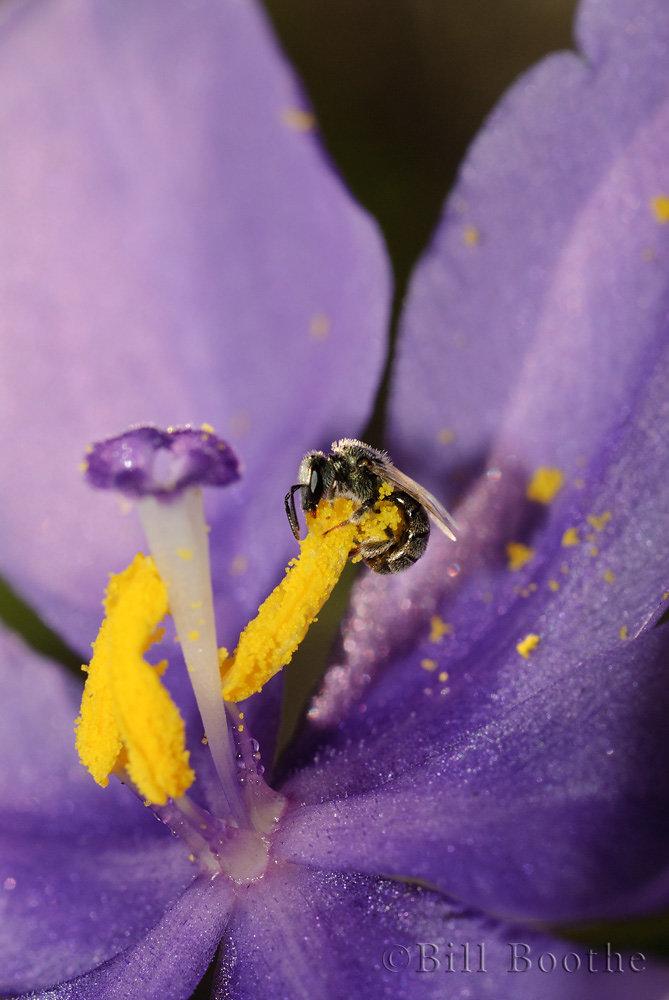 Halicitd Bee