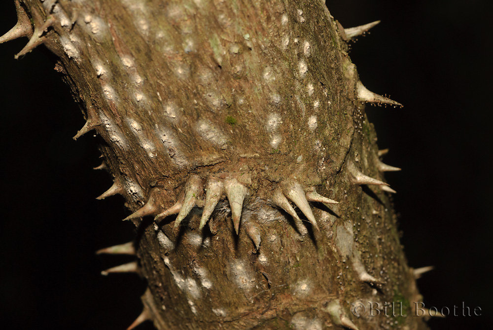 Spines on Devil's Walkingstick