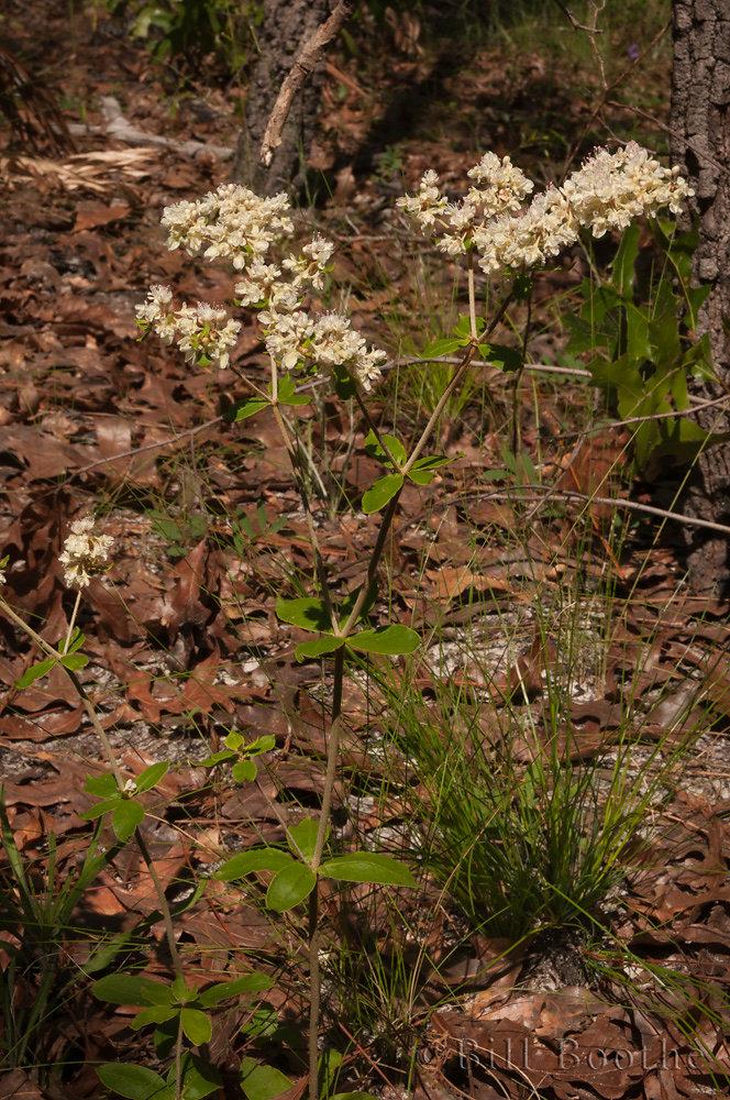 Dogtongue Wild Buckwheat
