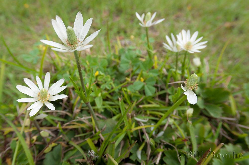 Tenpetal Thimbleweed