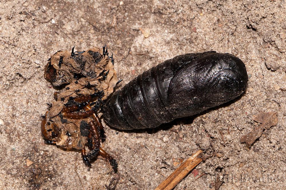 Royal Walnut Moth Cocoon